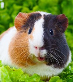 Are Guinea Pigs right for you? Pets At Home Happy Animals, Zoo Animals, Funny Animals, Cute Animals, Baby Guinea Pigs, Guinea Pig Care, Guniea Pig, Cute Piggies, Rodents