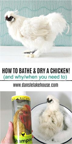 Answering the question do you bathe chickens? How to Bathe a Chicken and How to Dry a Chicken PLUS Why/When You Need to Wash a Chicken in the first place. Avoid FlyStrike, a deadly and dangerous ailment by knowing how to safely clean a chicken. Here's my story of giving chickens a bath and lessons I've learned. #bathingchickens #chickenhealth #backyardchickens