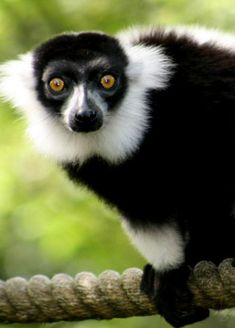 Facts and Statistics about Monkeys, Bushbabies and lemurs Lemurs, Primates, Madagascar, Panda Bear, Statistics, Monkeys, South Africa, Jr, Cute Animals