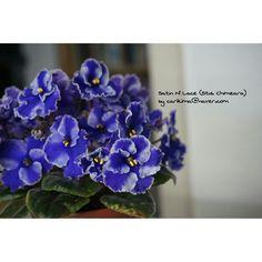African Violet Std. Chimera - Satin N' Lace  #Africanviolet  #Chimera  #Satin_N_Lace