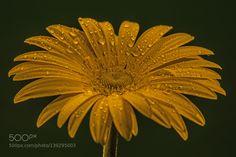 MG 126./Yellow drops by monorigabor60 #nature #photooftheday #amazing #picoftheday