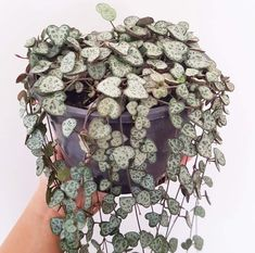 Plant - Ceropegia Woodii (Chain of Hearts) – Soul Made Boutique Cactus House Plants, Cactus Decor, Cactus Art, Cacti, Succulent Arrangements, Succulents, Plants Are Friends, Perfect Plants, Little Plants