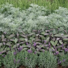 Lavender, tri-color sage, artemesia...all silver-grey coulored plants are very warmthresistant and do not need much water