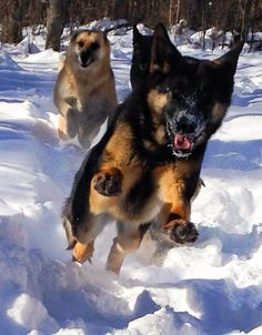 One of the GSD favorite things to do. Run and play in the snow.