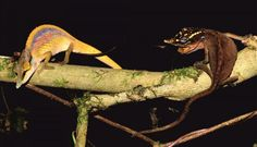 'Rainbow' chameleon among three new species described from Madagascar