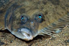 Picture of a flounder on the ocean floor.  They're born with an eye on each side of their head. One migrates to the other side.
