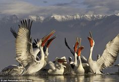 Pelicans perform a ritual dance at pristine mountain-ringed Lake Kerkini in Macedonia