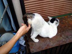 Funny cat who love to slap his balls ^^   un chat d'enfer qui aime quand on lui caresse les testicules :D