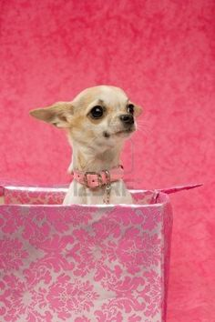Chihuahua in a large pink gift box on a pink background wearing a chunky collar Stock Photo