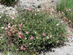 Helianthemum nummularium, sunrose, is a semi-woody perennial shrub that remains a garden favorite year after year. From the second week of May until the third week of June, this low-growing plant is covered with small flat blossoms.