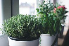 Fresh thyme in a window - FoodiesFeed