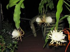 My Night Blooming Cereus had 7 flowers in one night. Beautiful flower and sweet fragrant smell. Flowers late at night and closes in the morning. Night Blooming Flowers, First Night, Beautiful Flowers, Gardening, Sweet, Plants, Candy, Lawn And Garden, Plant