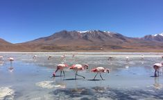 Bolivia Flamingos Salt Flat Tour // Flamingos at 5000m elevation.