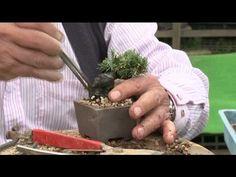 小品盆栽 五葉松の植え替え - YouTube