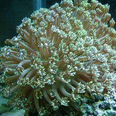 flower pot coral...you're lucky if you see it all open like this!