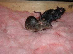 335 best sewer brown norway rats images in 2019 rats rodents rh pinterest com