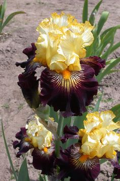 Tall Bearded Iris 'Reckless Abandon'. Dark purple falls with yellow and white rays. The standards can range from a cream color to buttery yellow.