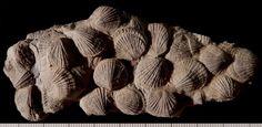 Rhynchonelliforme brachiopods - Coelospira sp. (ROM7180, Silurian, ON)
