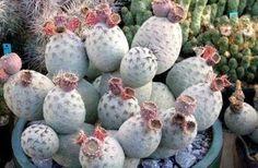 Opuntia-Tephrocactus-alexanderi-V-geometricus-Planta-De-Semillas-De-Cactus