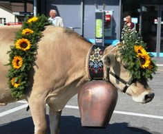 cows with bells - Google Search