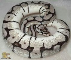 Axanthic bumble bee ball python