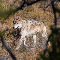 ADVOCATES for the WEST | Wolf - ADVOCATES for the WEST