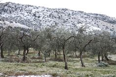 On the highlands of the Gargano, Puglia, a sudden snowstorm lightly blankets the olive groves. #italy #travel #italian #puglia #nature #olives #crops #southernitaly