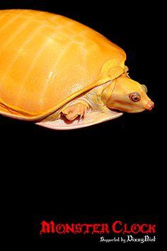 """Burmese Flapshell Turtle""""Albino"""""""