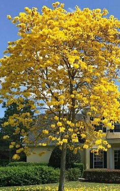 Yellow tree and house
