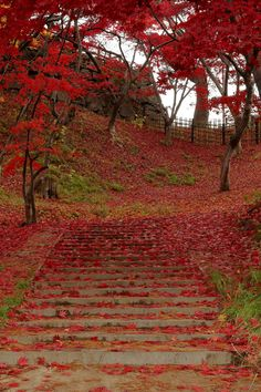 Red carpet - Hirosaki Park, Aomori, Japan