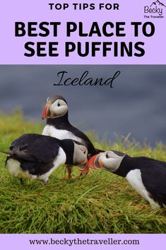 Puffins in Iceland - The best place for seeing puffins in Iceland. For all wildlife lovers out there, this is a perfect place for seeing puffins up close on the East coast of Iceland. Includes details where to see them and top tips for an enjoyable experi Iceland Travel Tips, Europe Travel Guide, Backpacking Europe, Travel Guides, Travelling Europe, Travel Destinations, Travel Advice, European Destination, European Travel