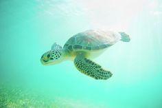 Sea Turtle Baby Photograph  - Sea Turtle Baby Fine Art Print