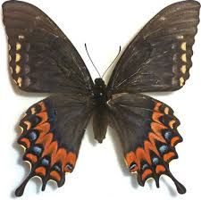 Image result for dragon swallowtail butterfly images