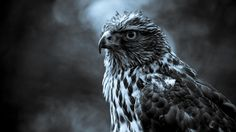 Gray scale photography of eagle nature animals birds hawk animal - Android, iPhone, Desktop HD Wallpaper - Eagle Wallpaper, Tier Wallpaper, Cartoon Wallpaper Hd, Animal Wallpaper, Dark Wallpaper, Eagle Images, Eagle Art, Black And White Background, Black White
