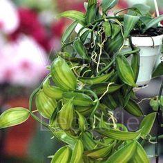 Fiche de culture de l'orchidée VANILLE (Vanilla planifolia) Vanilla Orchid, Orchid Plants, Vegetables, Tahiti, Agriculture, Keto, Gardening, Courtyard Gardens, Beautiful Gardens