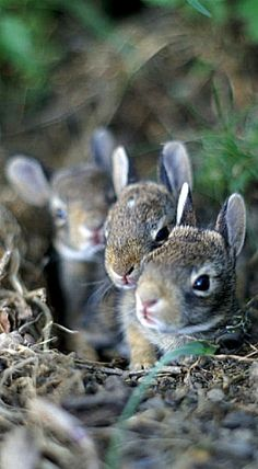 Baby bunnies in their burrow  ❤ ❤ ❤