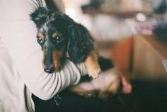 long haired daschund is my dream doggie