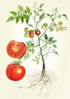 How to grow your own vegetable hero, the Tomato: Growing your own tomatoes can be rewarding with or without little ones. We think it's best to start with seeds in a tray and once fully grown seedlings, move them to pots and then stake them when they're es Vegetable Illustration, Plant Illustration, Botanical Illustration, Vintage Botanical Prints, Botanical Drawings, Botanical Art, Tomato Drawing, Plant Drawing, Tomato Tattoo