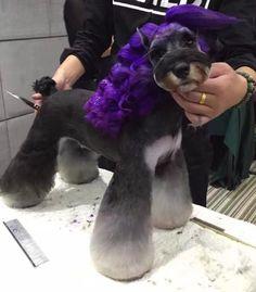 Stunning Schnauzer groom with purple ringlets