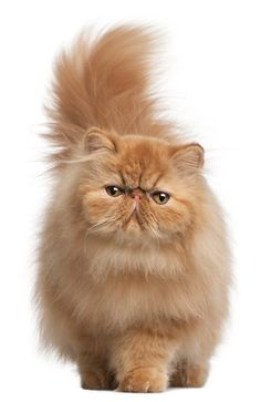 Red Persian Kitten Reminds me of my Red Persian, Brandy .