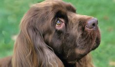 Sussex Spaniel - makes me miss our Cheyenne.  Such a wonderful dog!