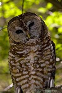Threats to Spotted Owls include competition for habitat with the Barred owl, Great Horned owls that prey on adults and young, red-tailed hawks and ravens. Since their habitat is largely old-growth coniferous forests, it has been listed as endangered because of the forestry industry that relies on such forests. This species of owl is important in the Haida cultures of Alaska and British Colombia. The owl can be seen carved into their totem poles.