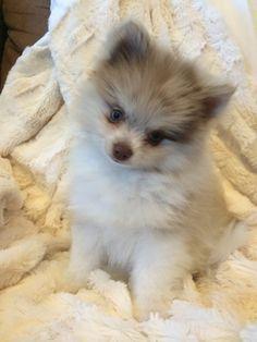 Chocolate merle blue eyed pomeranian puppy!!!