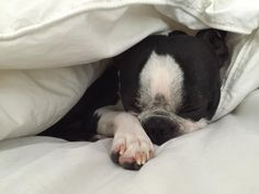 Cute Boston Terrier Dogs and their Blankets! See more Pictures ► http://www.bterrier.com/?p=28786 - https://www.facebook.com/bterrierdogs