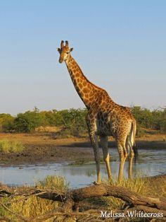 Giraffe - Phalaborwa, KNP