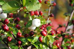 - Ärligt och härligt om trädgård och natur -: Röda bär till fåglarna