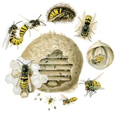 Lifecycle-of-wasps Bee Identification, Woodlice, Wasp Stings, Bird Boxes, Wild Ones, Predator, Autumn