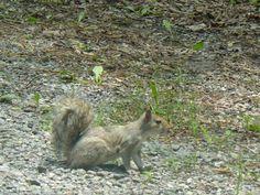 Gray Squirrel, Del City Del City, Delaware City, Squirrel, Kangaroo, Gray, Animals, Baby Bjorn, Animales, Animaux