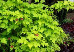 Rubus 'Golden Ruby'
