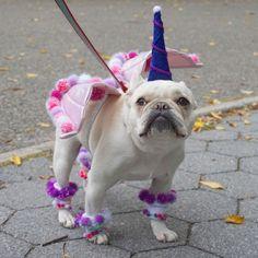 """Unicorn-TASTIC!"" French Bulldog in costume."